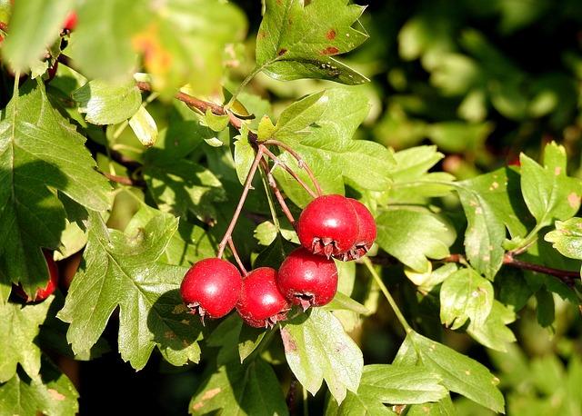Głóg – roślina od sercowych zadań specjalnych
